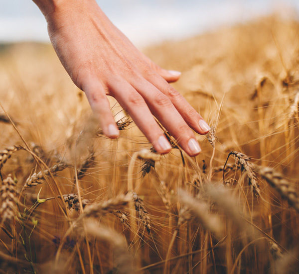 female hand touching wheat